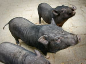 Foto von Hängebauchschweinen im Wildpark Schwarze Berge (C) Sven Körber