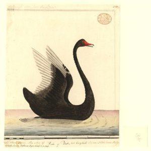 "Cygnus atratus ""Mulgo"" (Wikimedia)"